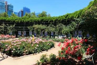 Rosas parque Araucano