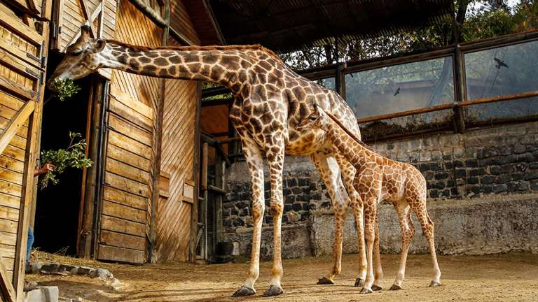 zoo, jirafas, zoológico